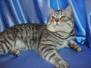 Британец вязка кошек продажа котят