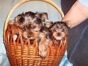 Продаются щенки йоркширского терьера,  мальчик и девочки